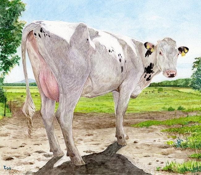 mihotomita-朝の白い牛